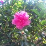 今年も山茶花が咲きました