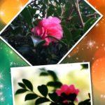 今年も山茶花が咲きました!