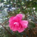 今年も山茶花が咲きました。